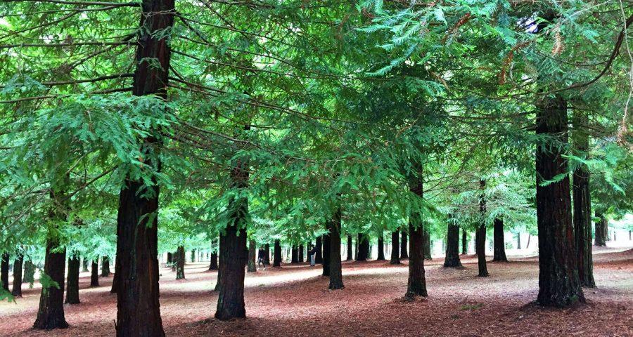 Bosque Secuoyas Rojas De Poio Guíate Galicia